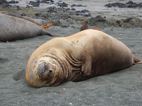 molting ele seal