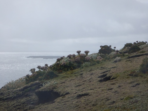 enderby megaherb cliff top