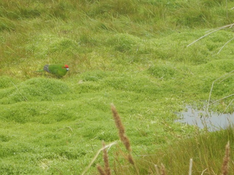 red crowned parakeet in grass
