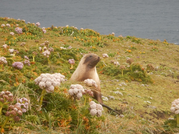 sealion in megaherbs