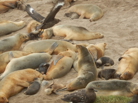 skuas and sealions