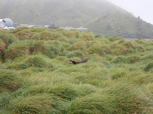 ele seal in tussock