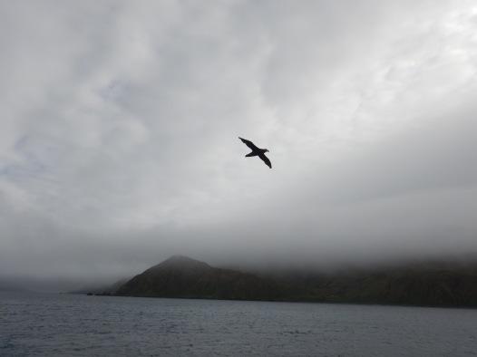 lusitania bay petrel