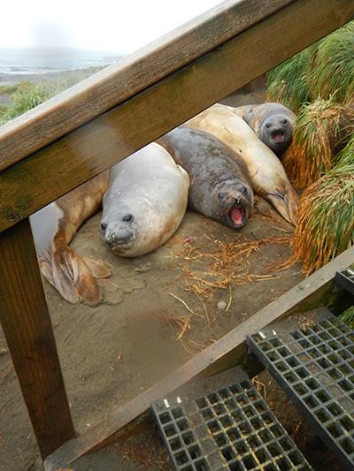 razorback ele seals