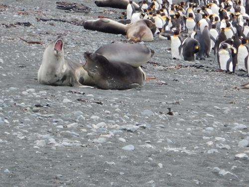 squabbling ele seal weaners