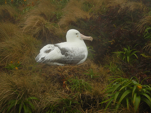 albatross on nest