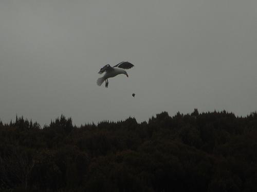 kelp gull drops mussel
