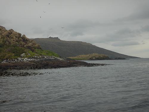 kelp gulls swooping
