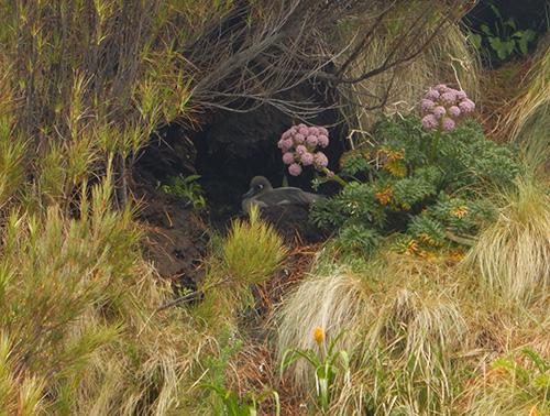light mantled sooty albatross on nest