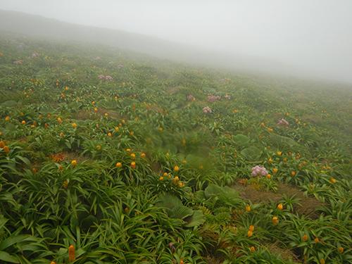 misty megaherb hillside