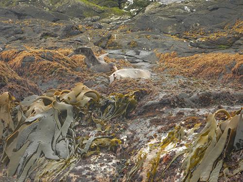 petrel feeding in kelp