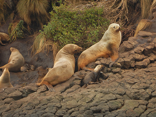 sea lion females and pup