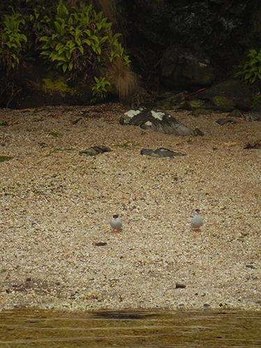 spot the terns