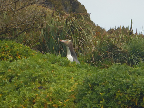 yellow eyed penguin in grass